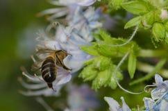Mellifera de los Apis de la abeja de la miel que alimenta en una flor del decaisnei del Echium Fotografía de archivo libre de regalías