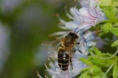 Mellifera de los Apis de la abeja de la miel que alimenta en una flor del decaisnei del Echium Fotos de archivo