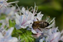 Mellifera de los Apis de la abeja de la miel que alimenta en una flor del decaisnei del Echium Imágenes de archivo libres de regalías