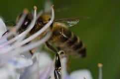 Mellifera de los Apis de la abeja de la miel que alimenta en una flor del decaisnei del Echium Imagen de archivo libre de regalías