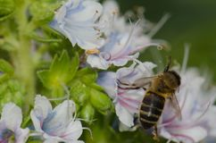 Mellifera de los Apis de la abeja de la miel que alimenta en una flor del decaisnei del Echium Fotos de archivo libres de regalías