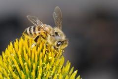 Mellifera dos Apis, buckfast, abelha do mel Fotografia de Stock Royalty Free