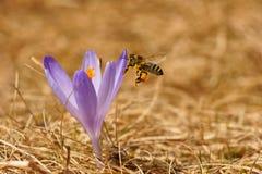 Mellifera dos Apis da abelha, abelha que voa sobre o açafrão na primavera Fotos de Stock