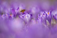 Mellifera dos Apis da abelha, abelha que voa sobre os açafrões na primavera Imagem de Stock Royalty Free