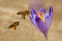 Mellifera dos Apis das abelhas, abelhas que voam sobre os açafrões Imagem de Stock