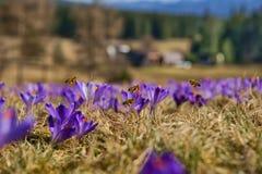 Mellifera dos Apis das abelhas, abelhas que voam sobre os açafrões na primavera Fotografia de Stock