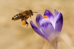 Mellifera dos Apis das abelhas, abelhas que voam sobre os açafrões na primavera Fotografia de Stock Royalty Free