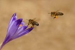 Mellifera dos Apis das abelhas, abelhas que voam sobre os açafrões na primavera Imagens de Stock