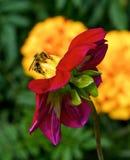 Mellifera europeo de los Apis de la abeja de la miel que recolecta el polen, Honey Bee que cosecha el polen del flor amarillo, ab Imagen de archivo libre de regalías