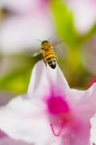 Mellifera occidental de Honey Bee-Apis Photographie stock