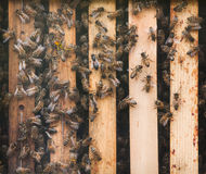 Mellifera occidental de los Apis de la abeja de la miel Fotografía de archivo