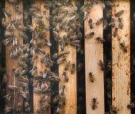 Mellifera occidental de los Apis de la abeja de la miel Fotografía de archivo libre de regalías