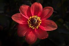 Melliferaon för honungbiApis på det ljusa mörkt - röd dahliablomma arkivbild