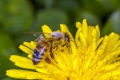 mellifica пчелы apis Стоковое фото RF