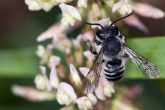 Mellifica apis пчелы Стоковые Изображения RF