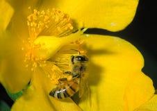 Mellifica apis пчелы Стоковые Фотографии RF