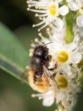 Mellifica apis пчелы Стоковые Фото