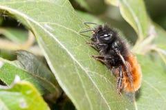 Mellifica apis пчелы Стоковое фото RF