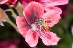 Mellifica apis пчелы Стоковые Изображения