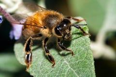 Mellifica de los apis de la abeja Imagen de archivo libre de regalías