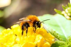 Mellifica de los apis de la abeja Foto de archivo