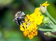 Mellifica de los apis de la abeja Fotografía de archivo