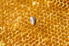 Mellonella de puits, mite de cire - parasite d'abeille - foyer sélectif, l'espace de copie images stock