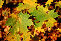 Mellow autumn. Of foliage Royalty Free Stock Photos