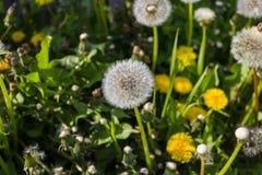 Mellow dandelion or lion´s tooth in the garden Stock Photos