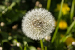 Mellow dandelion or lion´s tooth, pappus. Mellow blossom of a dandelion Royalty Free Stock Images