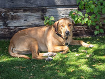 Mellow dog is relaxing Royalty Free Stock Photos