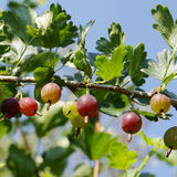 Mellow gooseberry Royalty Free Stock Image