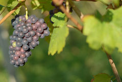 Mellow grapes Stock Image