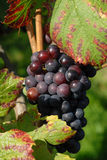 Mellow grapes Stock Images