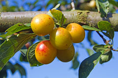 Mellow mirabelles Stock Images