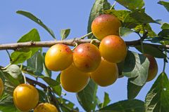 Mellow mirabelles Stock Photography