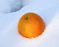 Mellow orange in white fresh snow Royalty Free Stock Photo