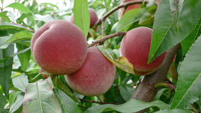 Mellow Peaches on branch Royalty Free Stock Photos