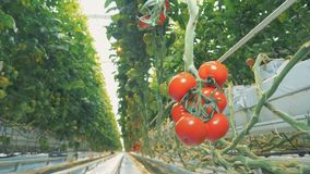 Mellow ripe tomatoes in a greenhouse. stock video footage