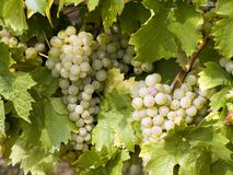 Mellow white grapes. White grapes in the late autumn just before the harvest Royalty Free Stock Photos