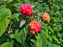 Mellowing fresh and tasty rapsberries. On bush Stock Image
