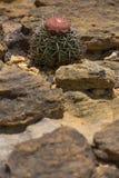 Melocactus在Serra da Capivara, Piaui,巴西 免版税图库摄影