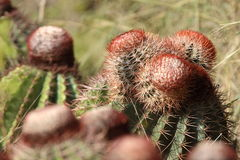Melocactus. From the tropical island of Puerto Rico Royalty Free Stock Photo