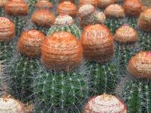 Melocactus Immagini Stock