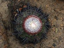 Melocactus peruviana 免版税库存图片