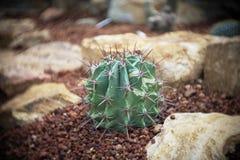 Melocactusen kaktus i trädgård har en brun sten omkring, kakturs, cactaceaen, suckulenten, trädet, tolerant växt för torka royaltyfri bild