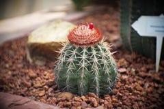 Melocactusen med cephaliumen, kaktus i trädgård har en brun sten omkring, kakturs, cactaceaen, suckulenten, trädet, tolerant växt arkivfoton