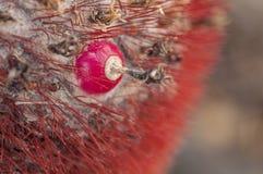 Melocactusfruchtnahaufnahme Stockfotografie