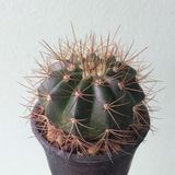 Melocactusoreas kaktus på den svarta plast- krukan Tolerant växt för torka royaltyfri fotografi