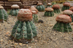 Melocactusoreas Miqu, kaktus växer i sand Arkivbild